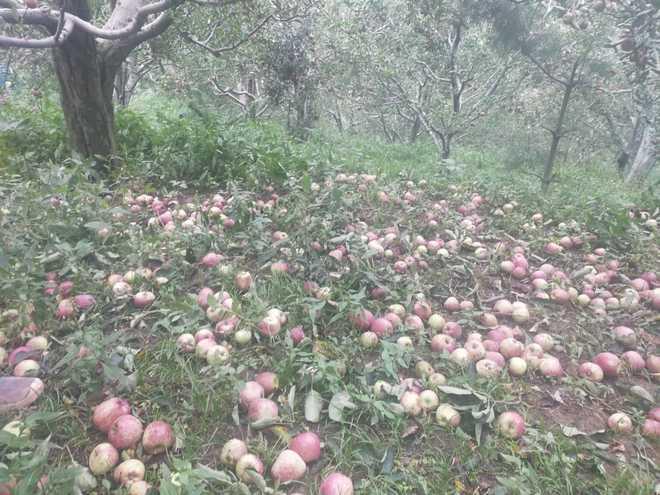 Storm damages apple crop in Mandi