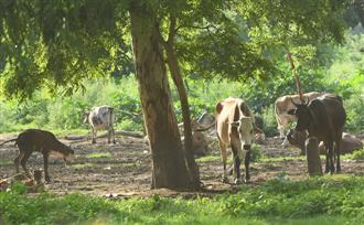 Cow cess brings in Rs7 cr, no respite from stray menace