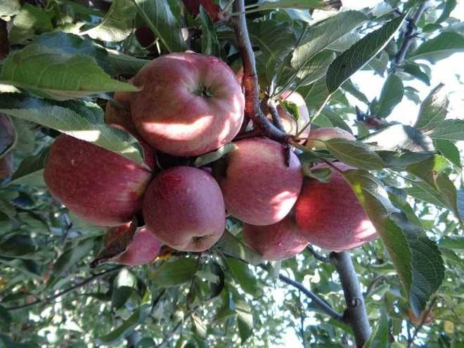 Good apple crop in Himachal, but farmers fear losses