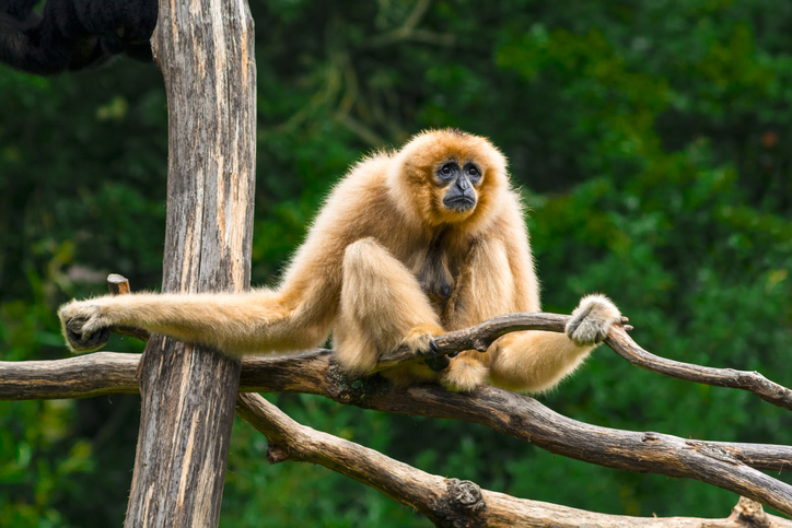 How gibbon skulls could help us understand the social lives of our ancient ancestors