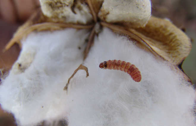 100% relief sought for pink bollworm-hit growers in Punjab cotton belt
