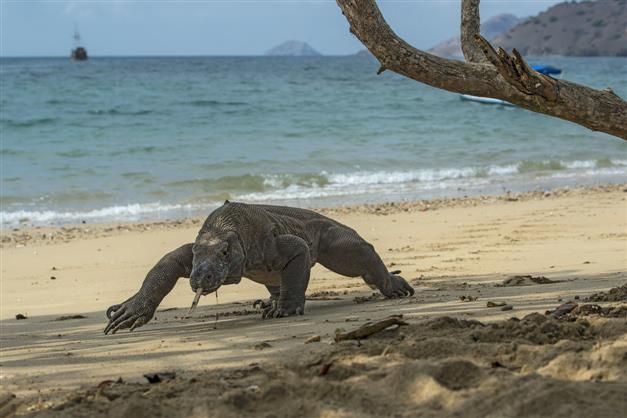 Tuna recovering, rising sea levels endangering Komodo dragon: Red List