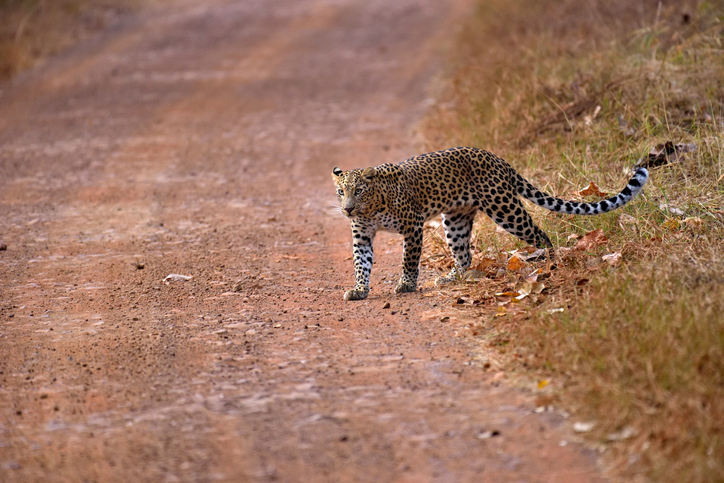 Leopard spotted again in Delhi's Tughlaqabad, residents alerted
