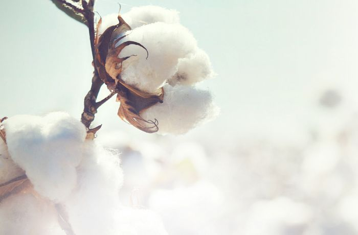 Punjab: Sold above MSP, cotton arrival up in mandis
