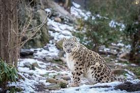 Snow leopard declared state animal in Ladakh