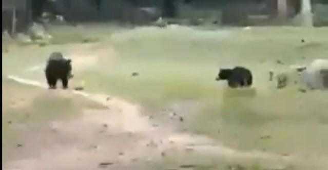 Watch two black bears play football; video goes viral