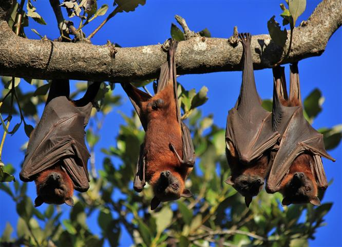 Understanding how bats resist Covid can aid new treatments in humans