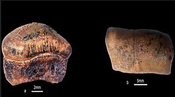 New species of Jurassic era hybodont shark discovered in Jaisalmer