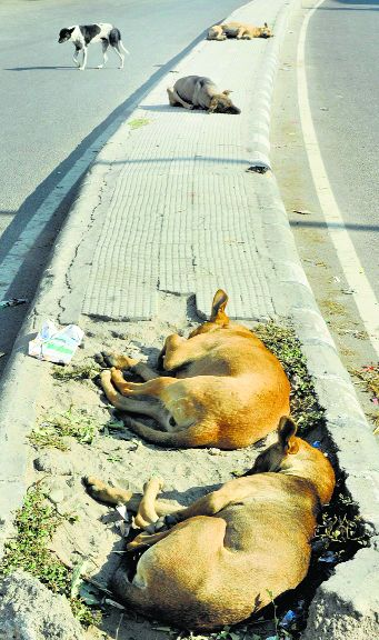 Only firms permitted by AWBI to sterilise, vaccinate dogs in Punjab