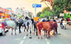 Stray cattle hinder traffic in Karnal