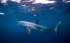 Over 10% of Australian shark species facing extinction