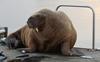 Wandering celebrity walrus spotted in Iceland