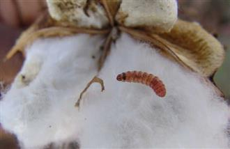 Pink bollworm attack on cotton crops: Punjab government orders girdawari