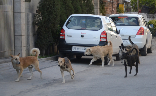 Sterilise 1,800 dogs every month: Ludhiana Mayor to ABC Centre officials