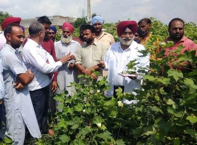 Pest attack on Mansa, Bathinda cotton crop