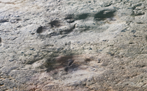 Oldest human footprints found in New Mexico